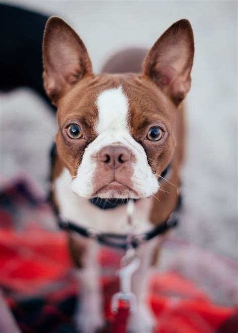 Red Boston Terrier also sometimes referred to as sorrel
