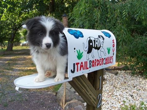 Border Collie Puppies For Sale From J-Tail Border Collies