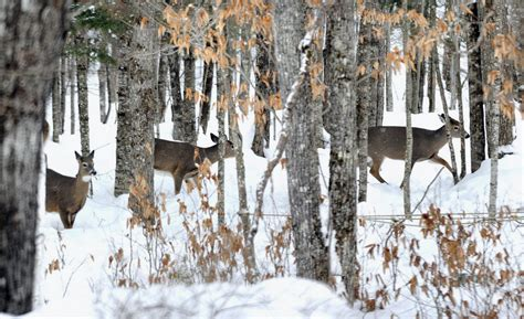 From small to large, animals deal with Maine winter