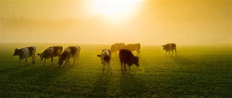 Dairy farming in the UK | UK World Animal Protection