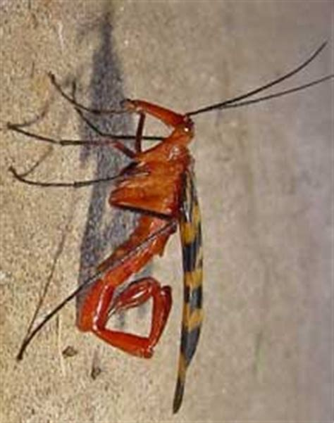 Scorpionfly - What's That Bug?