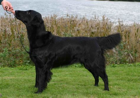 Flat-Coated Retriever Breed Guide - Learn about the Flat