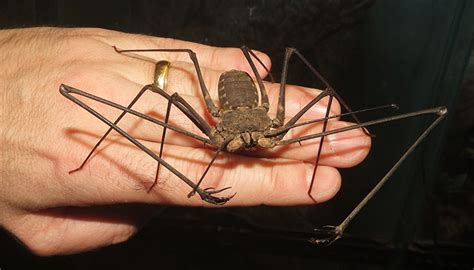 Meet the giant tailless whip scorpions! | Jonathan's