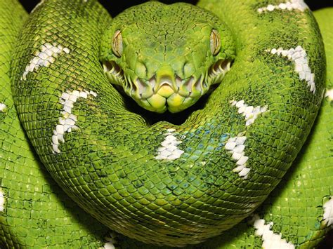 50 Hight Quality Snakes Wallpapes - WPArena